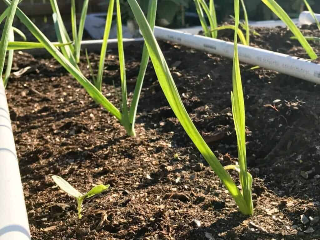 garlic-full