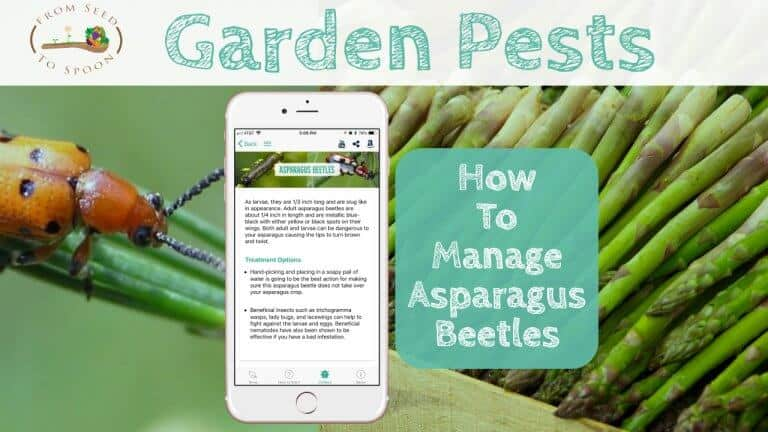 Asparagus Beetle blog post