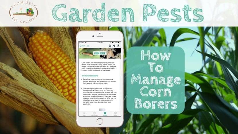 Corn Borers blog post