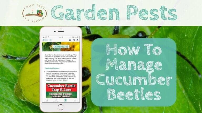 Cucumber Beetles blog post