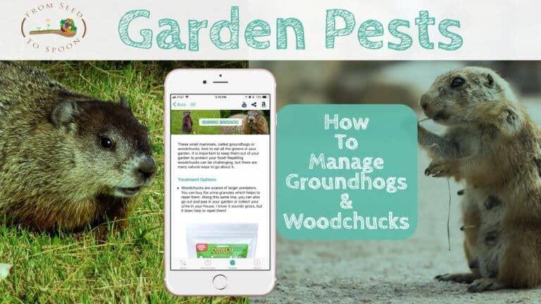 Groundhogs (Woodchucks) blog post
