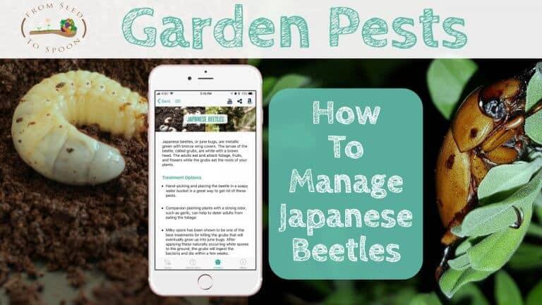 Japanese Beetles blog post_
