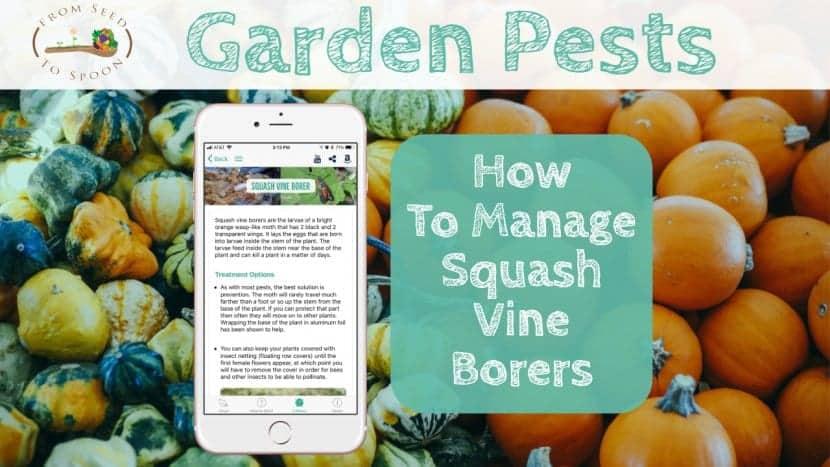 Squash Vine Borers blog post