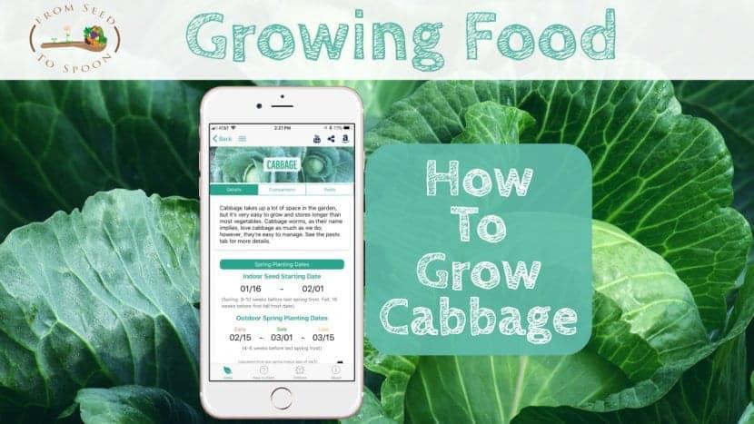 Cabbage blog post