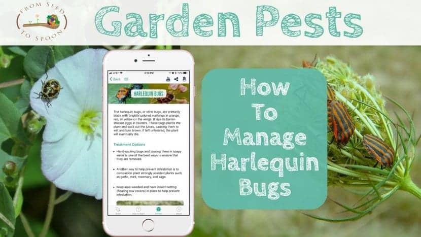 Harlequin bugs blog post