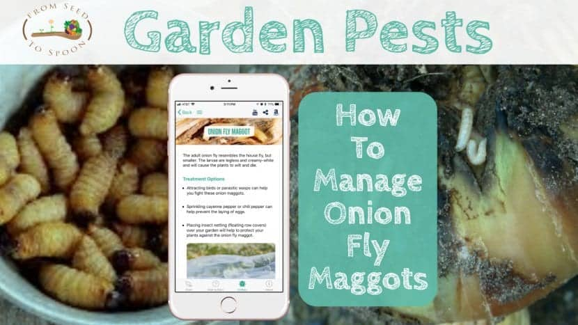 Onion Fly Maggots blog post