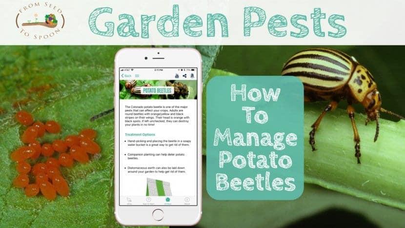 Potato Beetle blog post