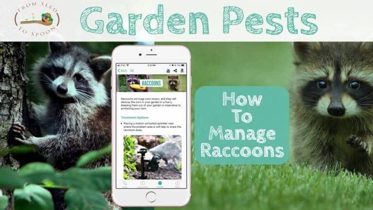 Raccoons blog post