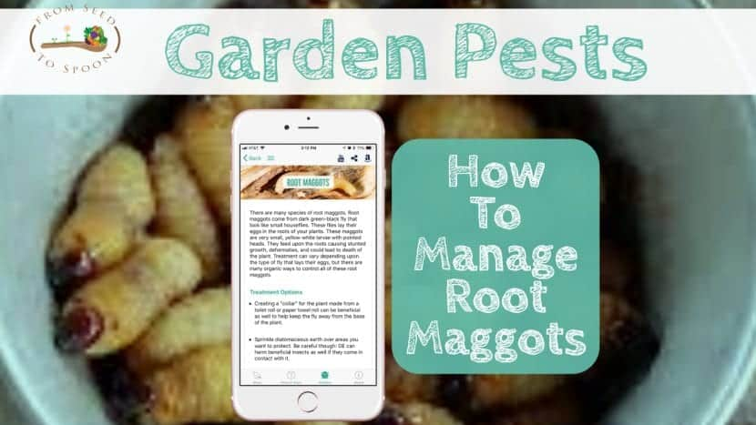 Root Maggots blog post