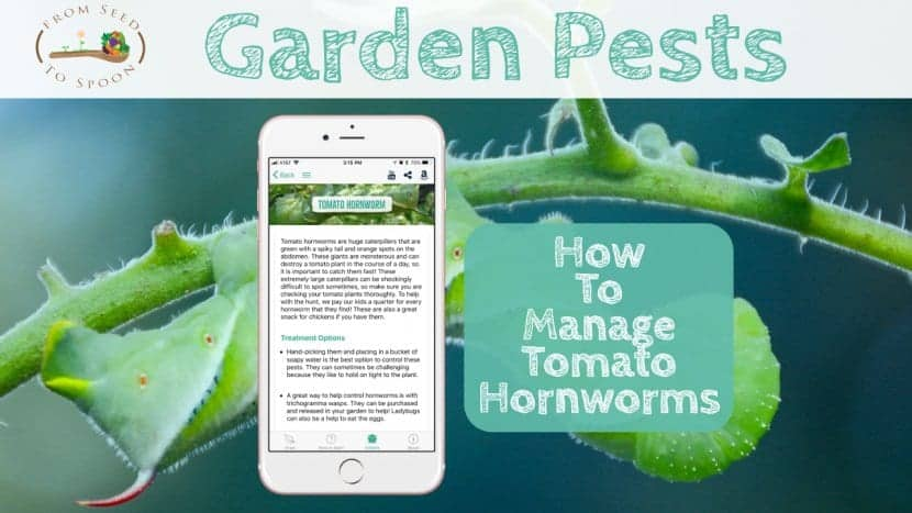 Tomato Hornworm blog post