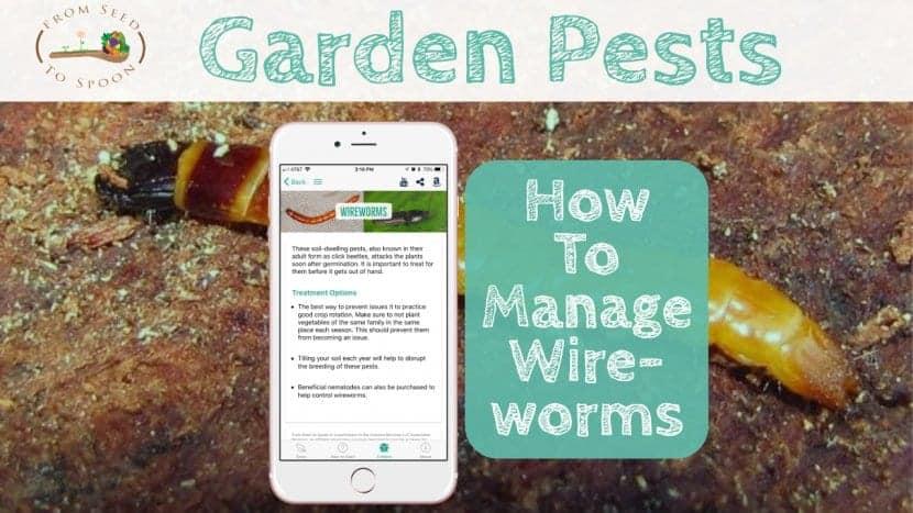 Wireworms blog post