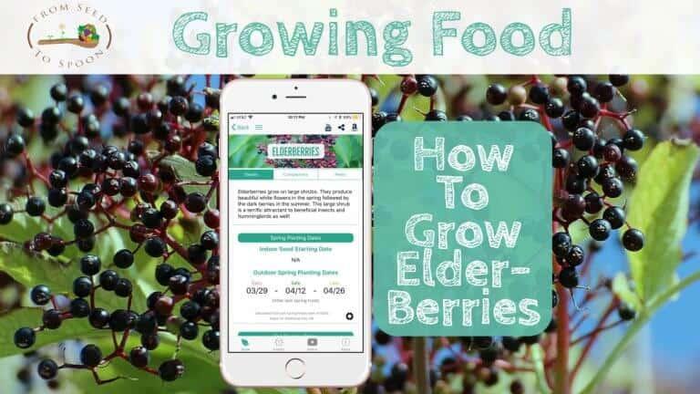 Elderberries blog post