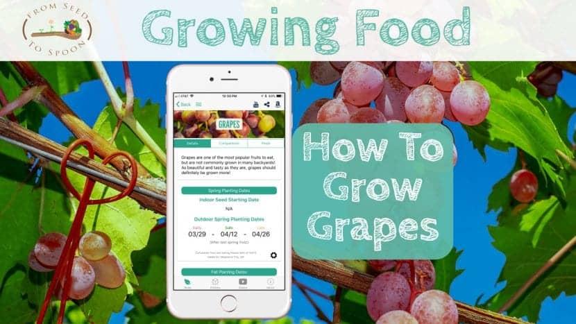 Grapes blog post