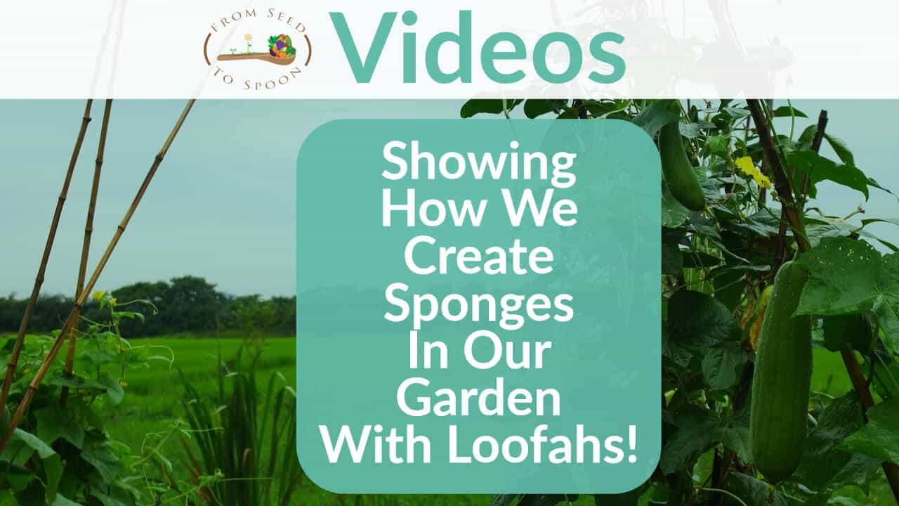 Showing How We Create Sponges In Our Garden With Loofahs!
