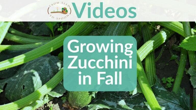 Growing Zucchini in Fall blog post