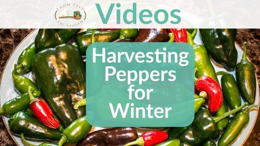 Harvesting peppers video