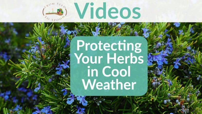 Herbs in Cool Weather video