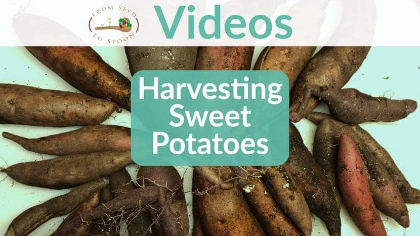 Sweet potato harvest video