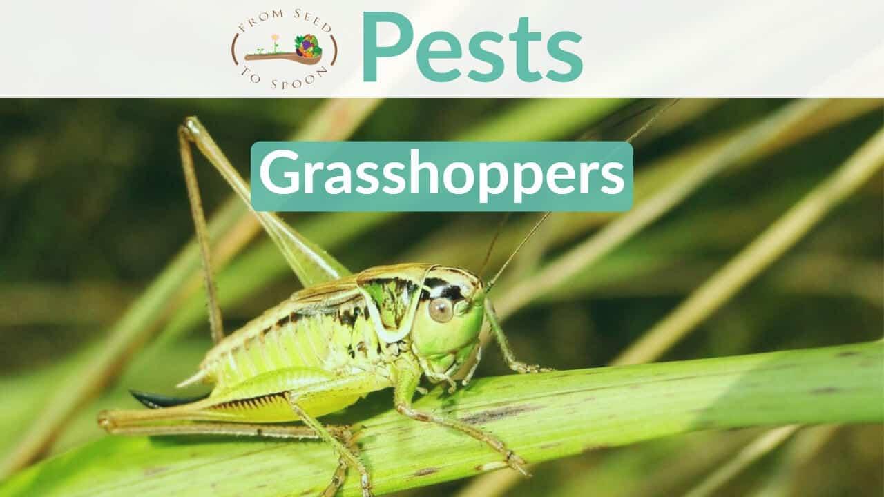 Grasshoppers blog post