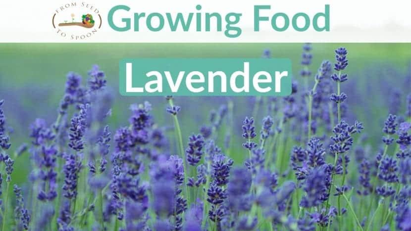 Lavender blog post