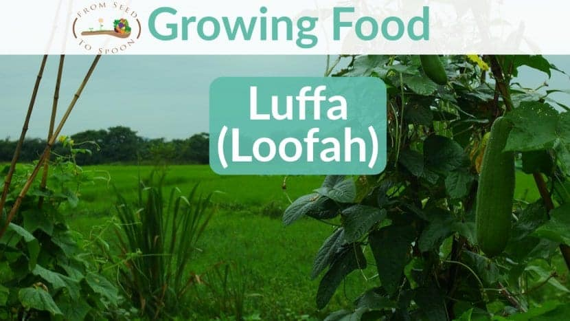 Luffa blog post