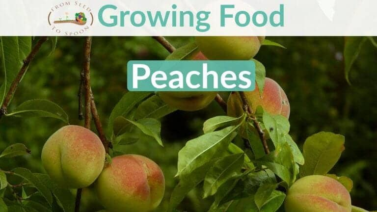 Peaches blog post