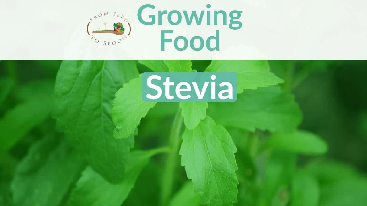 Stevia blog post