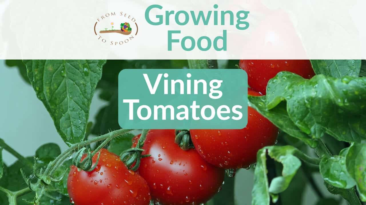 TomatoesVining blog post