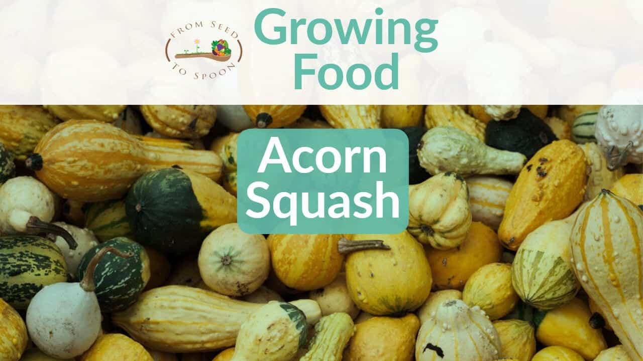 Acorn Squash blog post