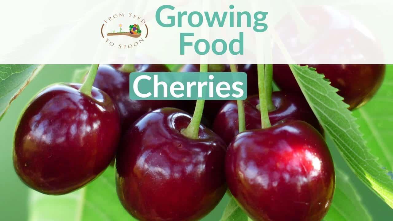 Cherries blog post