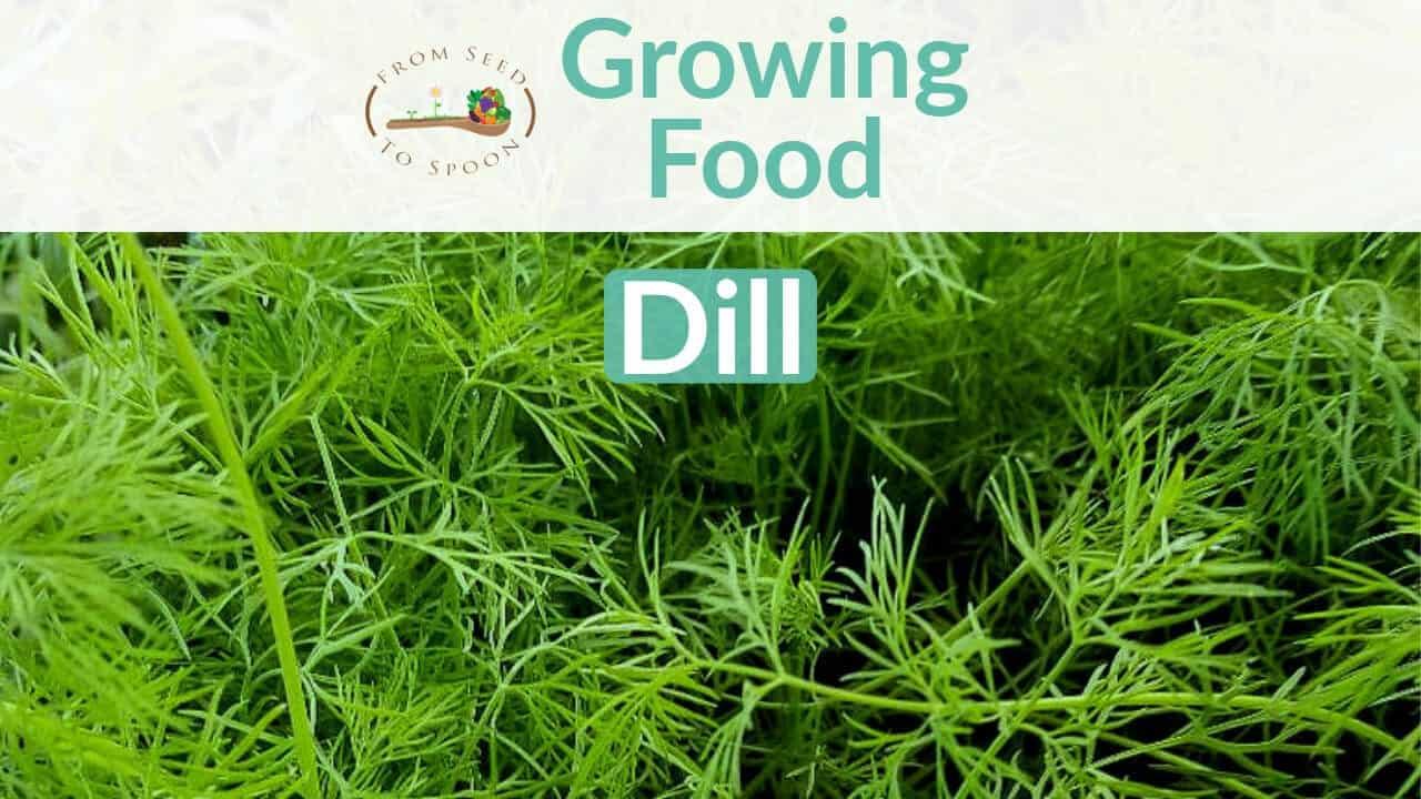 Dill blog post