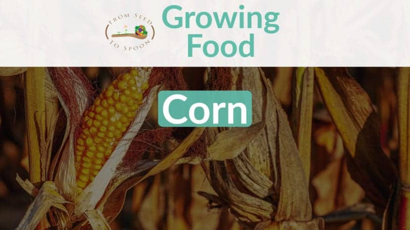 Corn blog post