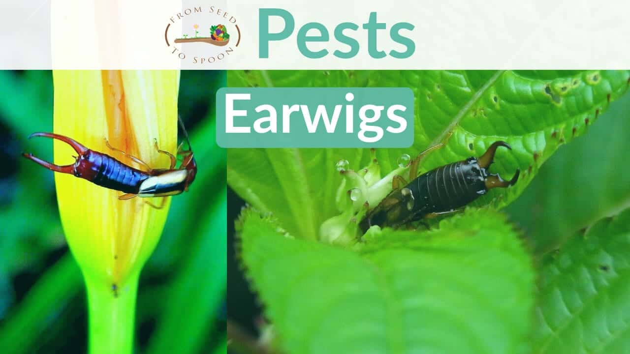 Earwig blog post
