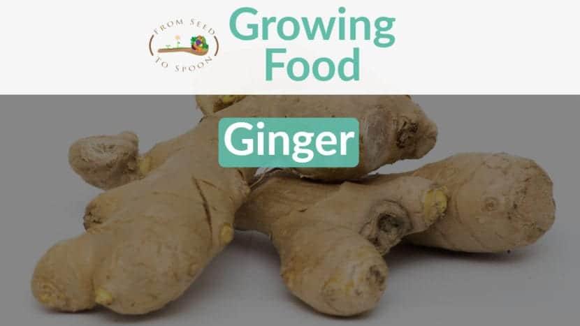 Ginger blog post