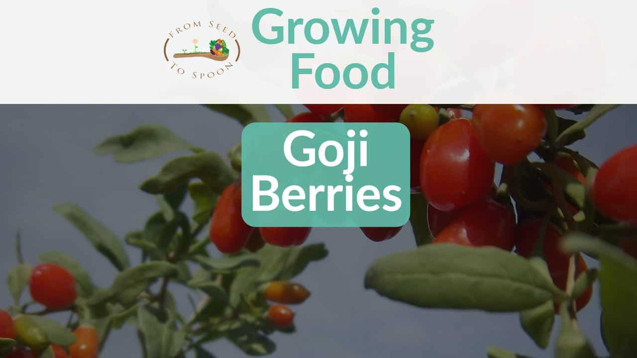 Goji Berries How To Grow And When To Plant In Your Backyard Or