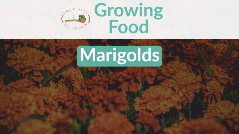 Marigolds blog post