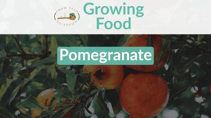 Pomegranate blog post
