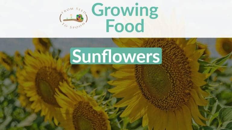 Sunflower blog post