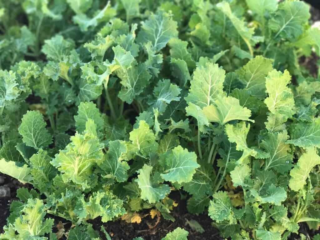 Grow Kale In Your Backyard Garden