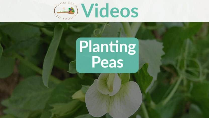 Peas Video