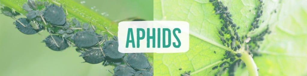 aphids-header