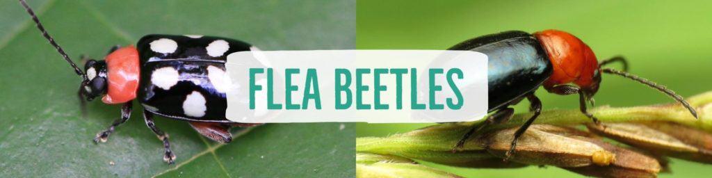 fleabeetles-header