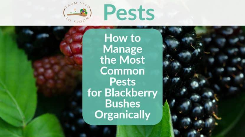Blackberries pest header