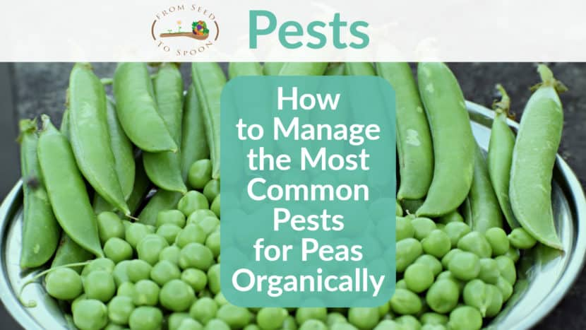 Peas pests header