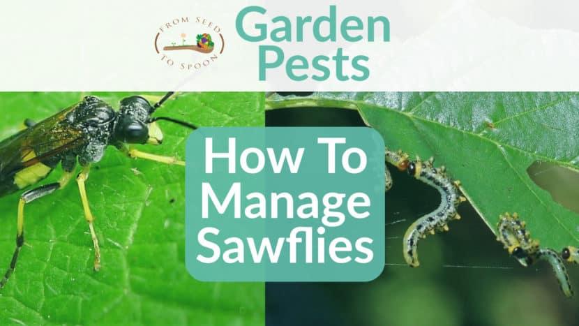 Sawflies blog post