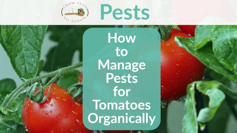 Tomatoes pest header