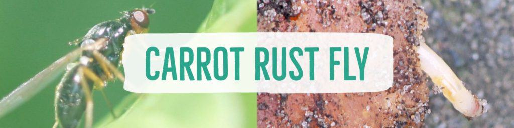 carrotrustfly-header