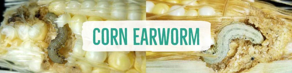 cornearworm-header