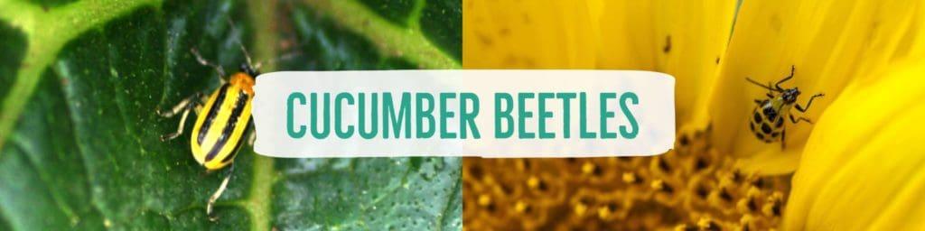 cucumberbeetles-header