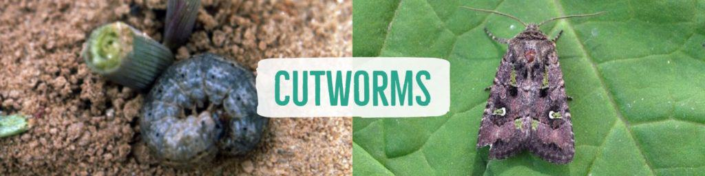cutworms-header